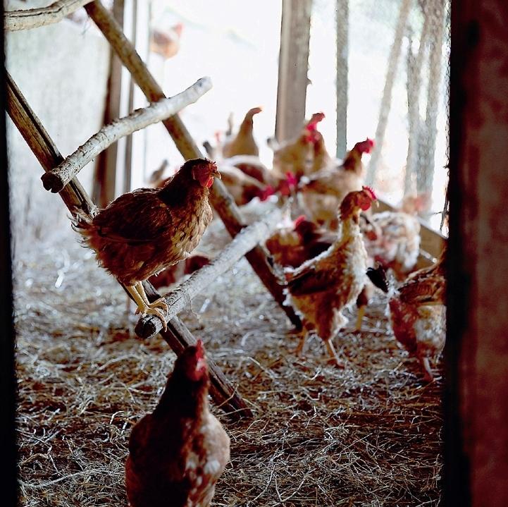 pollo ruspante il bagnolo eco lodge